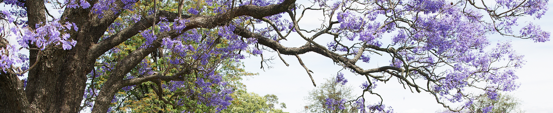 Interior banner - jacaranda tree 2