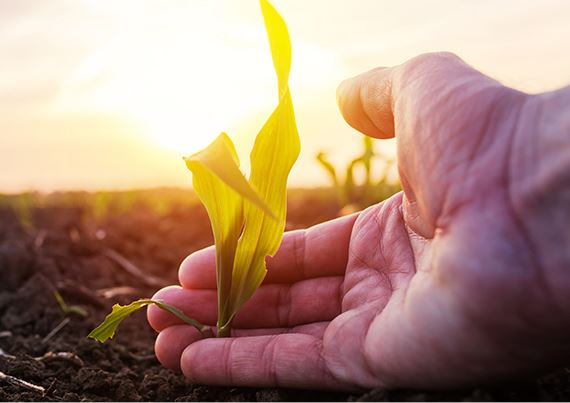 A hand with a baby corn plant in it with the sun in the background